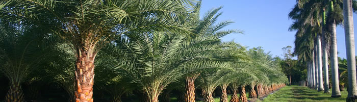 Date Palms Tree Removal Hialeah